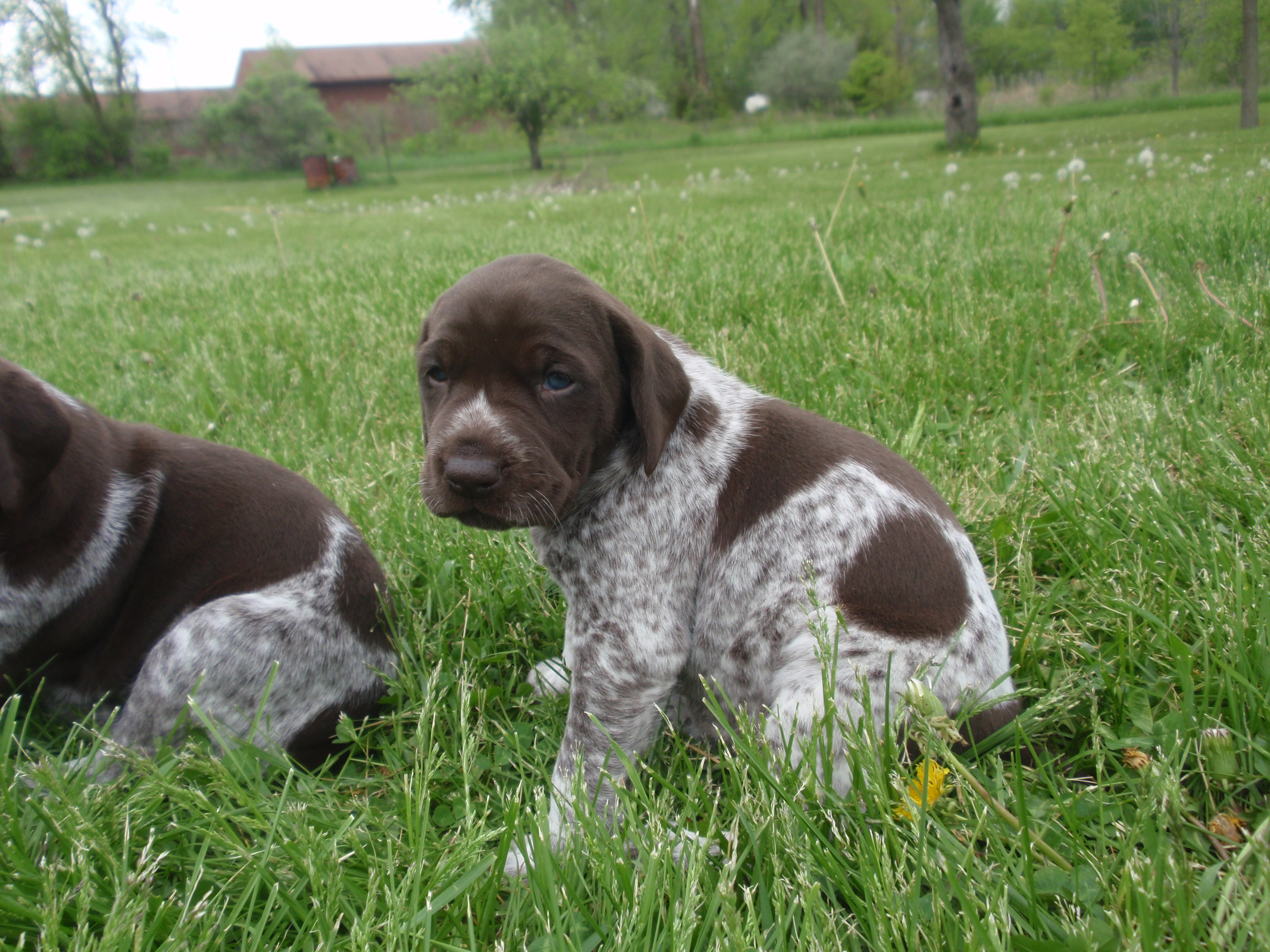 376 best Reference - sporting dogs images on Pinterest ...  |Black Ticked German Shorthaired Pointer Puppies